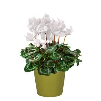 zimmerpflanzen online bestellen weltweit verschicken floraqueen. Black Bedroom Furniture Sets. Home Design Ideas