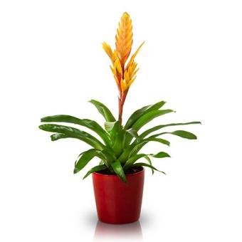 Bromelia: yellow
