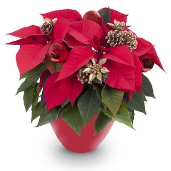 Joyeux Noël : Poinsettia