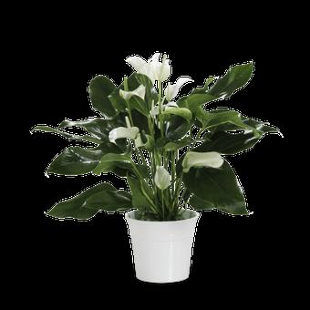 Anthurium Blanca