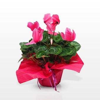 Ciclamen rosa