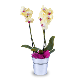 Orquídea Amarilla: Estrella Mística