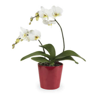 Bright Smile: White Orchid