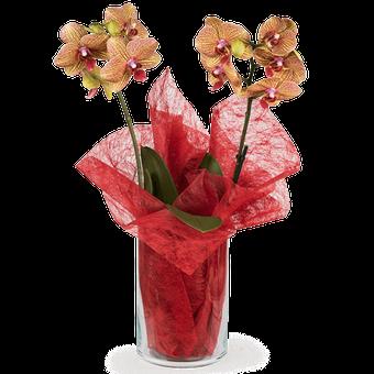 Incantevole: orchidea tigre