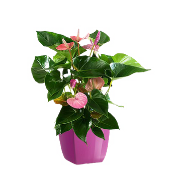 Różowe Anturium