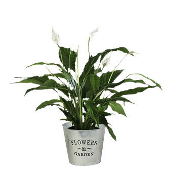 Pure Breeze: Peace Lily