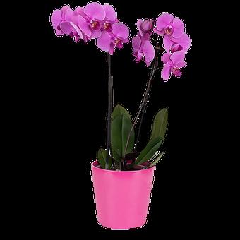 Pinke Orchidee: Kuss der Venus