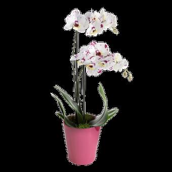 Orquídea Tigre Blanco
