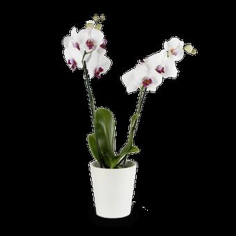 Un Toque Clásico: orquídea blanca