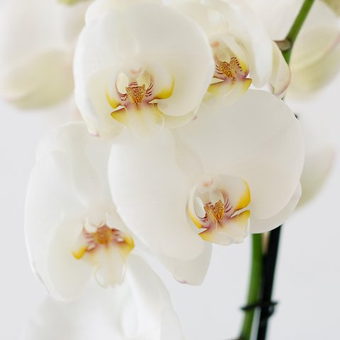Classical Love: White Orchid