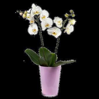 Storczyk Biała Dama: biała orchidea