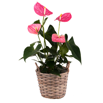 Lueur Rose : Anthurium Rose