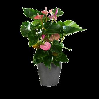 Floating Hearts: Pink Anthurium