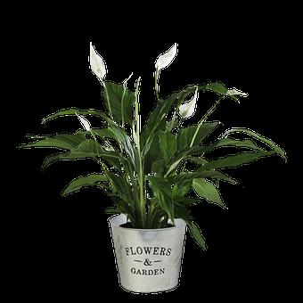Pure Breeze: Peace Lily