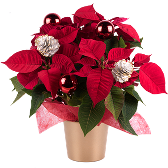Merry Christmas: Shiny Poinsettia