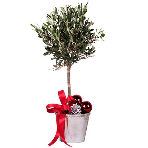 Neujahrs Hoffnung: Mini-Olivenbaum