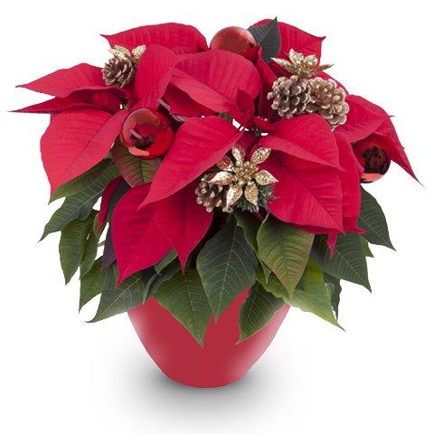 Feliz Navidad: Flor de Pascua Brillante