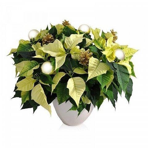 Poinsettia Blanc de Luxe