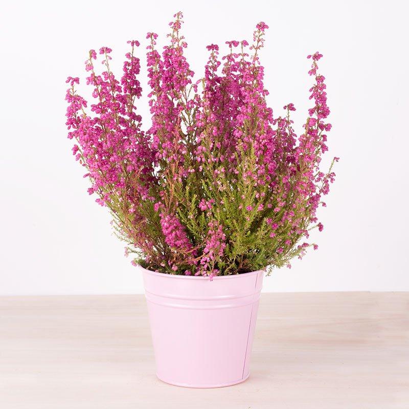 Brezo: planta de otoño