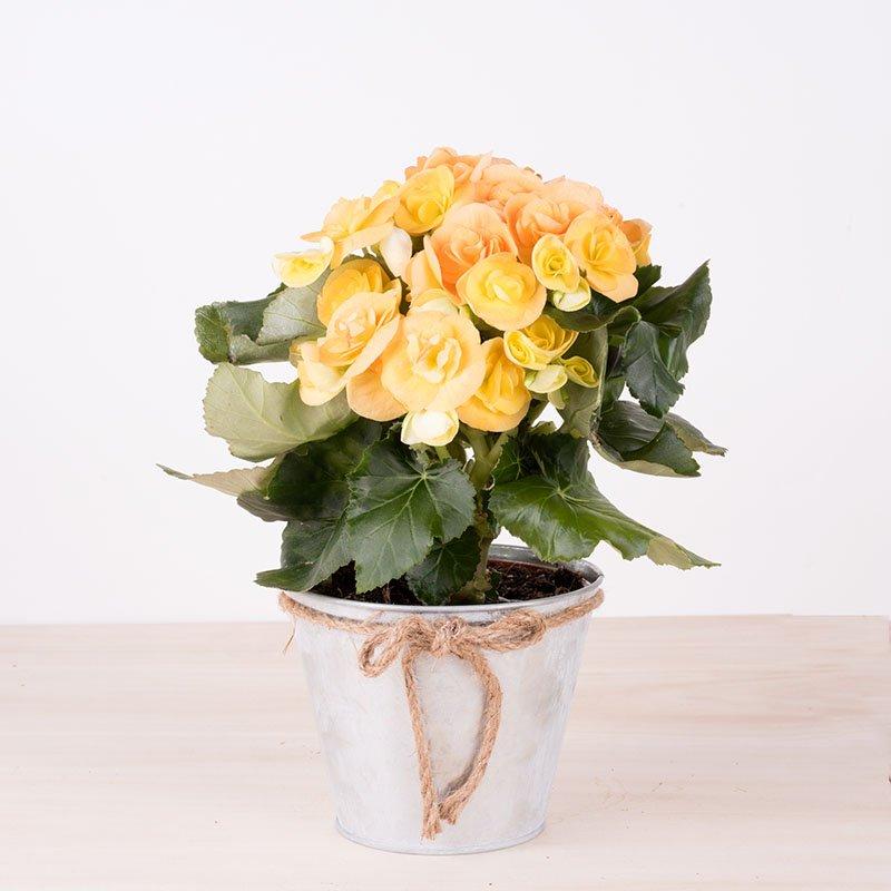 Bienestar - Begonia Amarilla