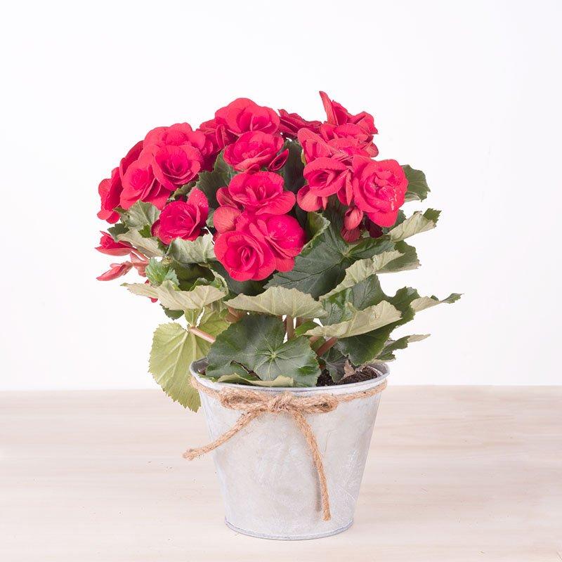 Begonia Roja
