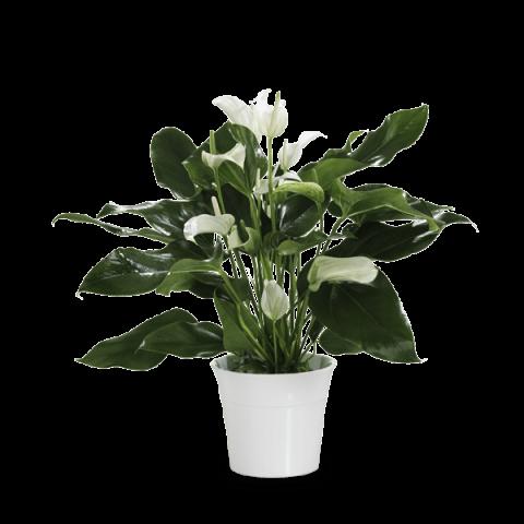 Envoi d un anthurium blanc domicile floraqueen for Envoi fleurs domicile