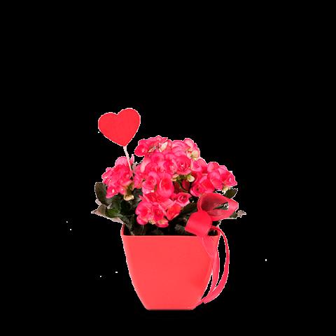 Radosna begonia