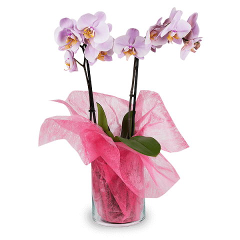 Tranquility: Pink Orchid