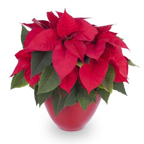 Navidad contigo: Flor de Pascua roja