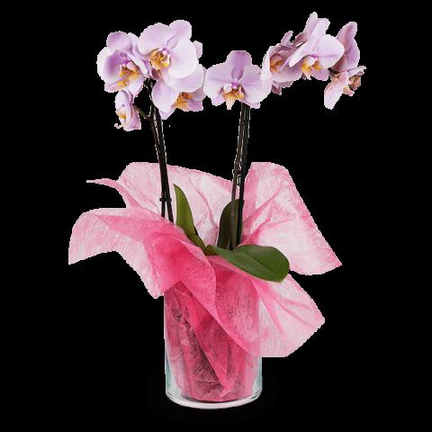 Sourire Exquis : Orchidée Rose