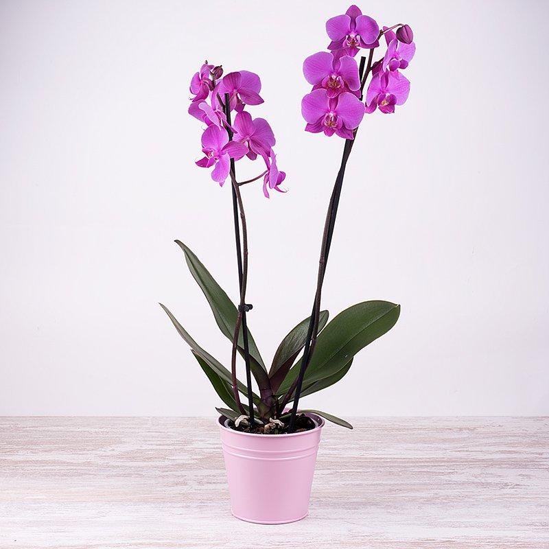 Orquídea violeta