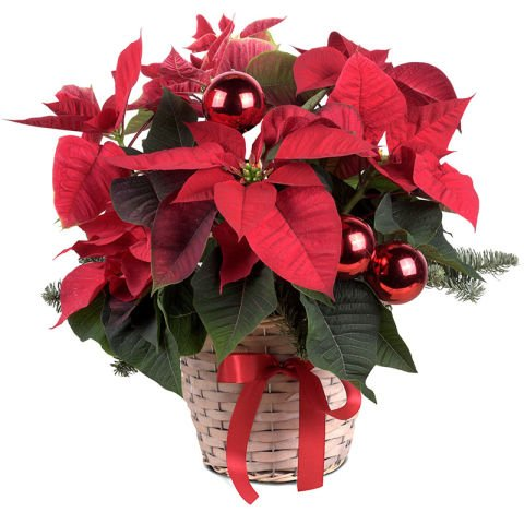 Flamme Hivernale : Poinsettia rouge