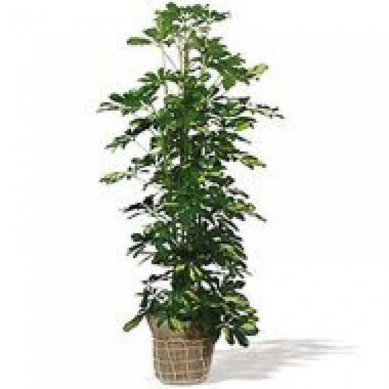 schefflera livraison de plantes vertes domicile floraqueen. Black Bedroom Furniture Sets. Home Design Ideas
