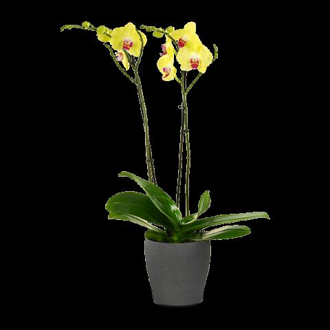 Elegancia Soleada: orquídea amarilla