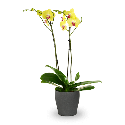 Sunny Elegance: Yellow Orchid