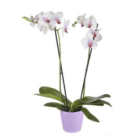 Orchidée Blanche Tigrée