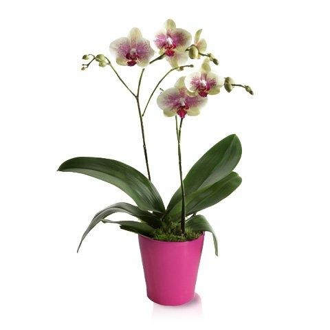 Orchidea Klasyka Wnętrza Domu