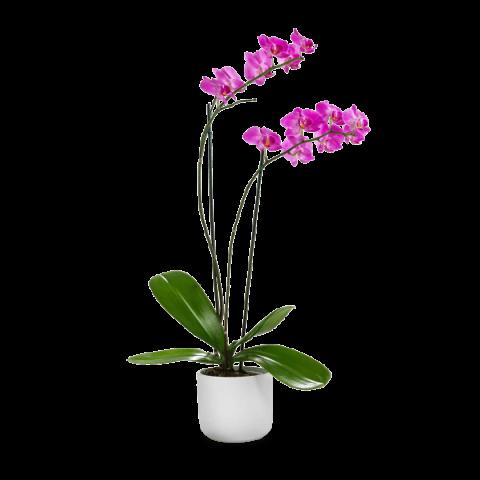 Orchidea Rosa: Bacio di Venere