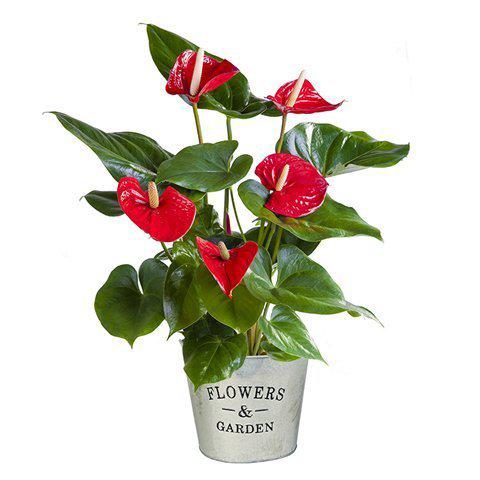 Anthurium Rouge : Coucher de Soleil