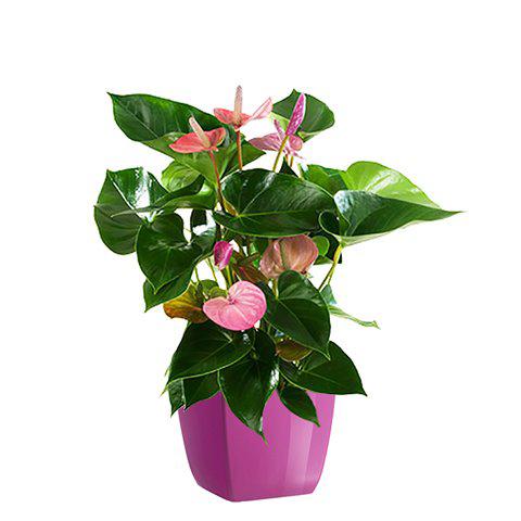 Rosa Flamingoblume