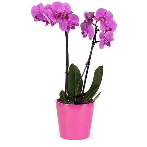 Baiser de Venus : Orchidée Rose