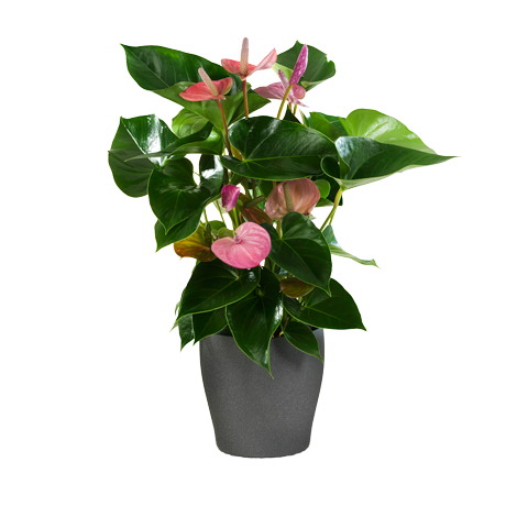 Floating Hearts: Pink Anthurium