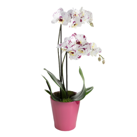 orchidee a envoyer