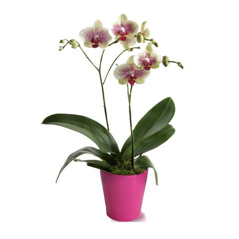 Orchidée Crème Tigrée