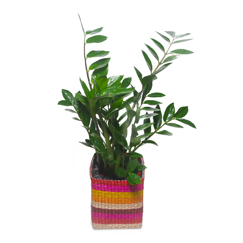 Exotic Joy: Zamioculcas