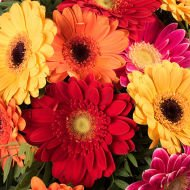 Rainbow: Mixed Gerberas