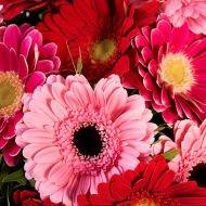 Odrobina Wrażliwości: różowe gerbery