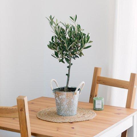 Ulivo: mini albero della pace