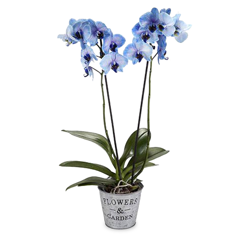 Orquídea Azul: Océano