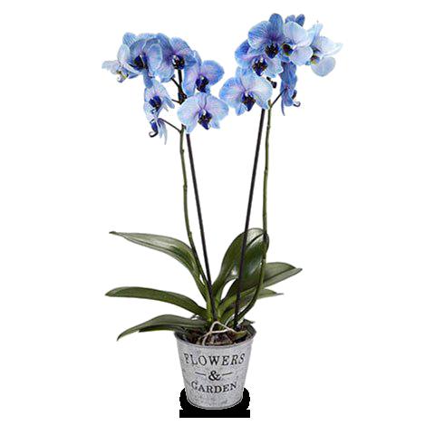 Profondo Oceano: Orchidea Blu